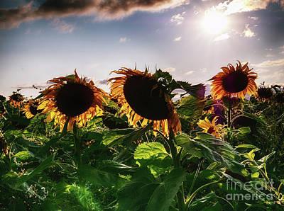 Digital Art - Sunflowers by Nigel Bangert