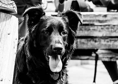 Photograph - Black German Shepherd in Black and White by Donald Rogers