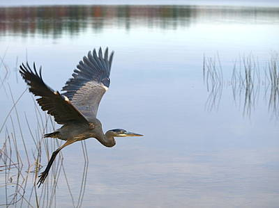 Blue Heron Photographs
