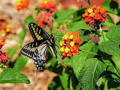 Photograph - Butterfly on Lantana by Michael Hodgson