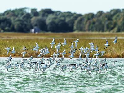 Photograph - Sanderlings in flight by Michael Hodgson