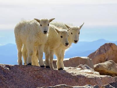 Photograph - Mountain Goat Triplets by Alan Boucher