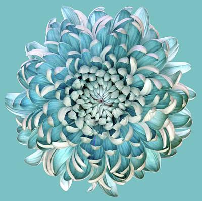 Chrysanthemum Photographs