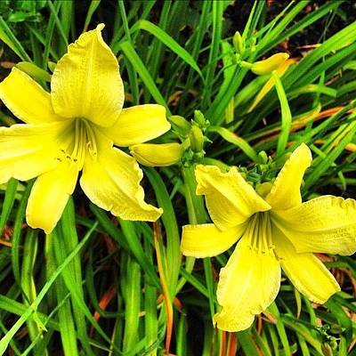 Designs Similar to Daylily flower