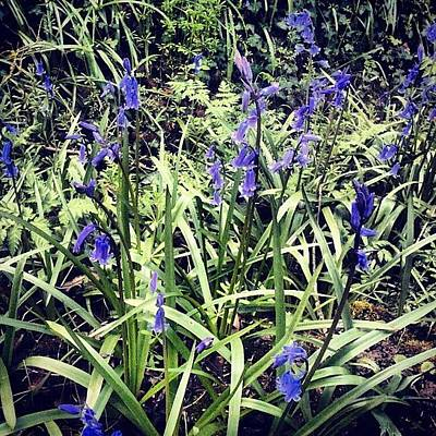 Bluebells Photographs