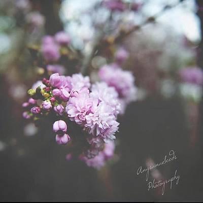 Cherryblossom Photographs