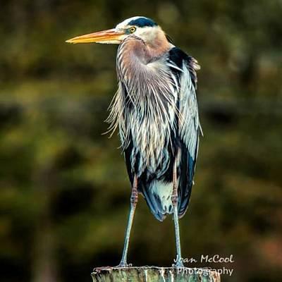Blue Heron Art Prints