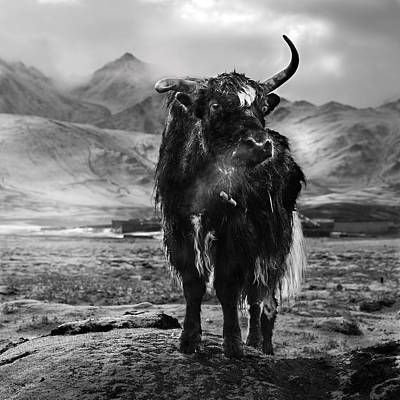 Yak Photographs
