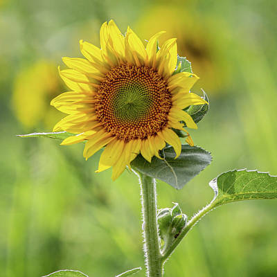 Photograph - Sunflower by Randy Bayne