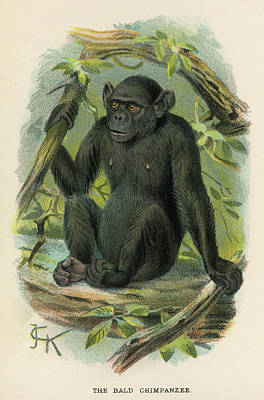 Chimpanzee Drawing -  A Bald Chimpanzee by Mary Evans Picture Library