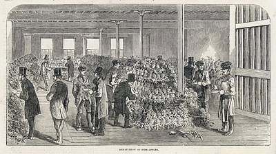 Pineapple Drawing -  A Great Display Of Newly  Imported by  Illustrated London News Ltd/Mar