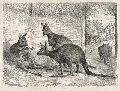 Kangaroo Drawing -  A Group Of Kangaroos In A Zoo by Mary Evans Picture Library