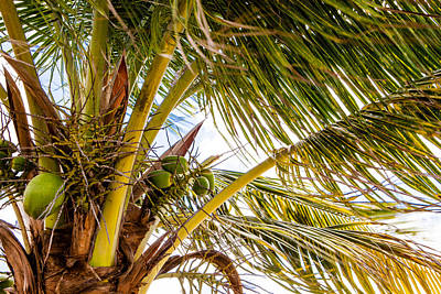 Photograph -  A Lovely Bunch Of Coconuts by Melinda Ledsome
