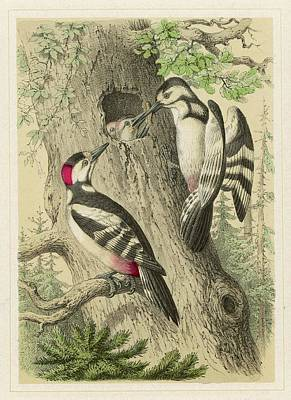 Woodpecker Drawing -  A Pair Of Great Spotted  Woodpeckers by Mary Evans Picture Library