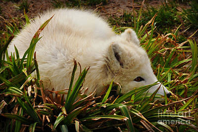 Art Print featuring the photograph  A White Fox by Mindy Bench