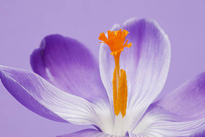 Abstract Purple Crocus Art Print