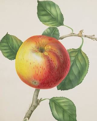 Apple Watercolor Painting -  An Apple by Elizabeth Jane Hill