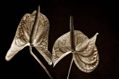 Photograph -  Anthurium 2 by Thomas Born