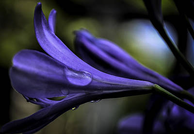 Photograph -  Art Of Agapanthus by Rae Ann  M Garrett