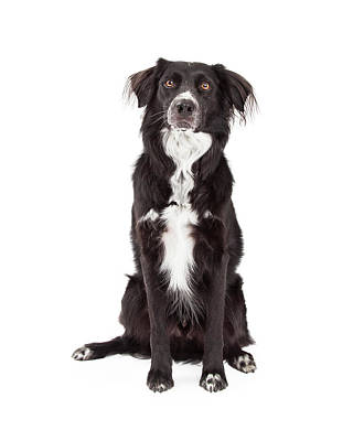 Attentive Border Collie Mix Breed Dog Sitting Art Print