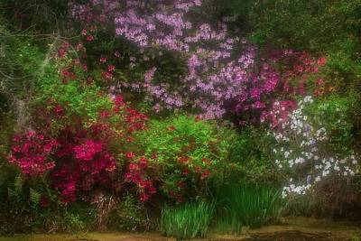 Photograph -  Azaleas In Bloom by JHR photo ART