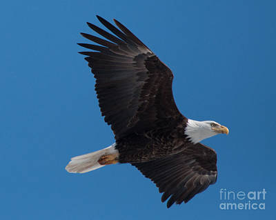 Kitchen Spices And Herbs -  Bald Eagle in Flight 6 by Ronald Grogan