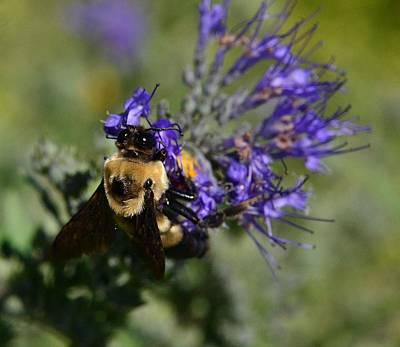 Photograph -  Bee Bombus On Spirea by Rae Ann  M Garrett