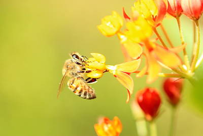 Photograph -  Bee On Milkweed by Greg Allore