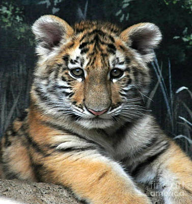 Photograph -  Bengal Tiger Cub Im The Baby by Scott B Bennett