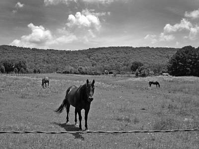 Photograph -  Black And White Pasture With Three Horses by Anne Cameron Cutri