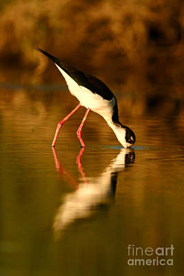 Photograph -  Black-necked Stilt Reflection by John F Tsumas