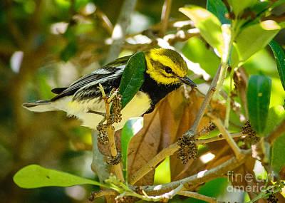 Black-throated Green Warbler Art Print