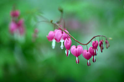 Bleeding Hearts Photograph -  Bleeding Hearts 2 by Rebecca Cozart