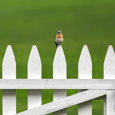 Bluebird Photograph -  Bluebird On The Fence Square by Bill Wakeley