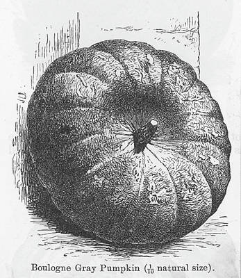 Boulogne Gray Pumpkin Art Print by Mary Evans Picture Library