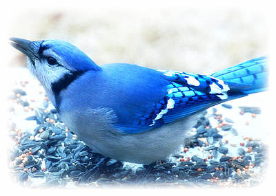 Photograph -  Bright Blue Jay  by Peggy Franz