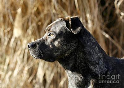 Bullmastiff Dog Watching The Sunrise Art Print