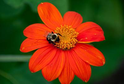 Photograph -  Bumblebee On Flower by John Black