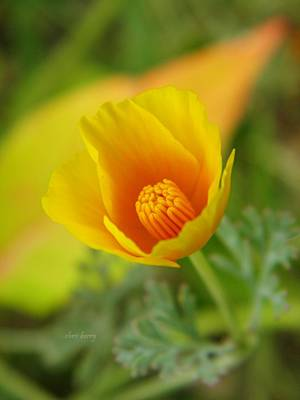 Photograph -  California Poppy In Autumn  by Chris Berry