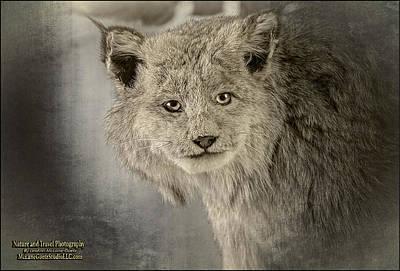 Bobcat Photograph -  Canadian Lynx by LeeAnn McLaneGoetz McLaneGoetzStudioLLCcom