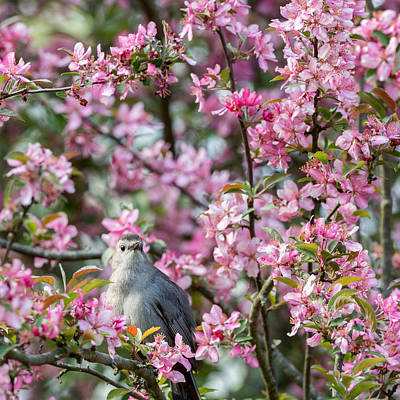 Pink Flower Photograph -  Catbird In A Pear Tree Square by Bill Wakeley