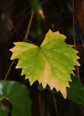 Changes Of The Wild Grape Leaf Original