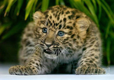 Photograph -  Cheetah Cub Im Gonna Getcha by Scott B Bennett