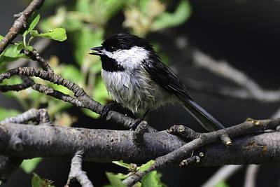 Photograph -  Chickadee-wet by Rae Ann  M Garrett