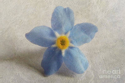 Photograph - Myosotis 'forget-me-not'- Single Flower by Vix Edwards