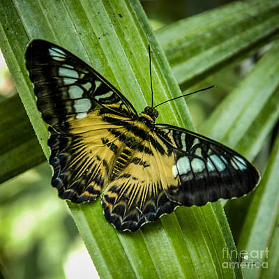 Photograph -  Clipper Butterfly by Ronald Grogan