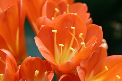 Clivia Flowers Photograph -  Clivia by Karen Silvestri