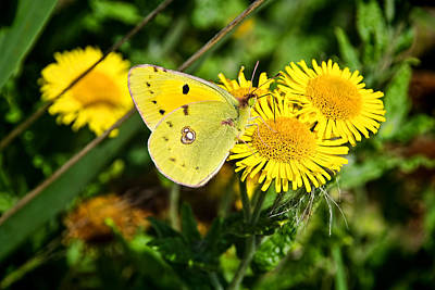 Golden Ragwort Photograph -  Clouded Yellow Butterfly - Colias Croceus by Susie Peek