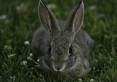 Photograph -  Clover Bunny by Rae Ann  M Garrett