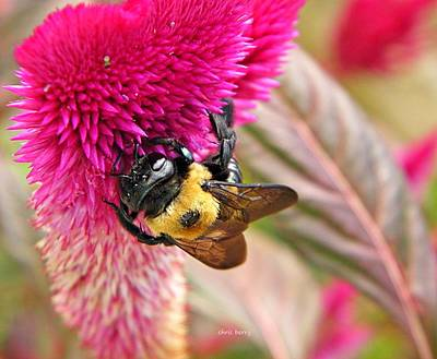 Cockscomb And Bumble Bee Art Print by Chris Berry